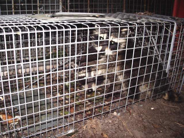Racoon in a trap