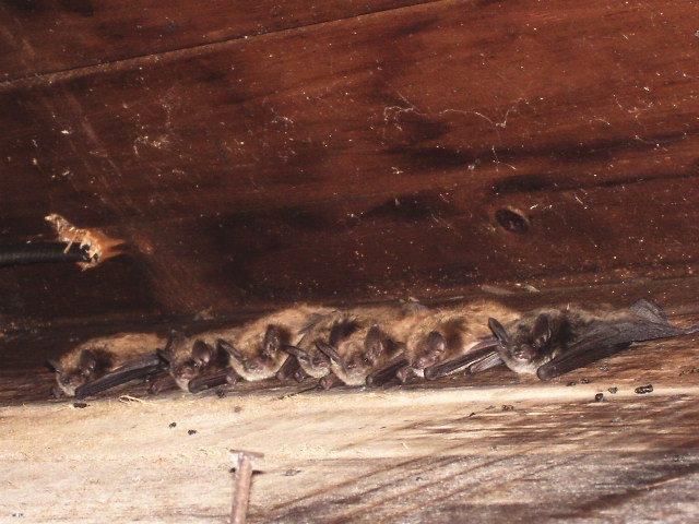 7 bats in an attic