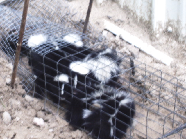 Skunks in a trap