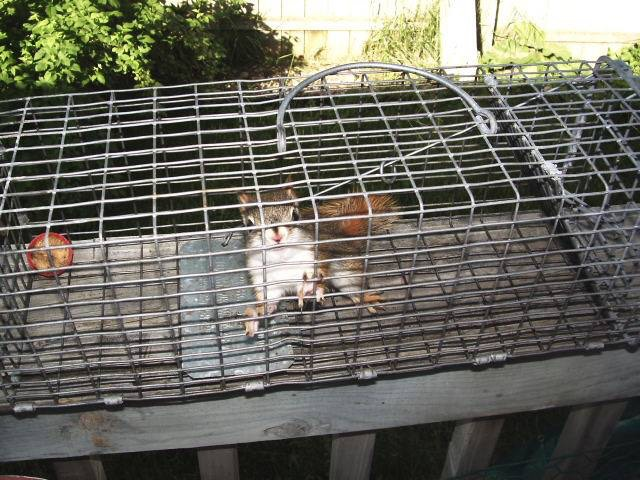 Pesky paws captured a Squirrel and put it inside a cage