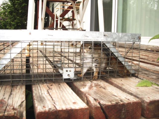 Captured Squirrel inside a cage.